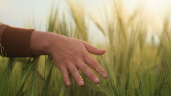 Woman Hand Touching Wheat During Spring