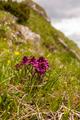 Pedicularis verticillata - Flower - PhotoDune Item for Sale