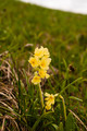 Primula elatior (Oxlip, True Oxlip) - PhotoDune Item for Sale