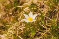 Pulsatilla alpina (Alpine pasqueflower, Alpine anemone) - PhotoDune Item for Sale