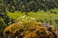 Androsace lactea (Milkwhite Rock Jasmine) - Gathering flowers - PhotoDune Item for Sale