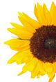 Beautiful Yellow Sunflower - PhotoDune Item for Sale