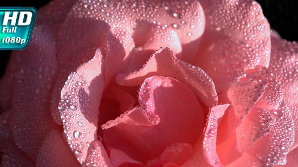 Light Pink Rose in Dewdrop