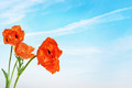 Red bright poppy flowers against blue sky - PhotoDune Item for Sale