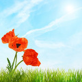 Red bright poppy flowers and green grass against blue sky - PhotoDune Item for Sale