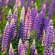 Prince Edward Island Lupins - PhotoDune Item for Sale