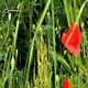 Poppy (Papaveraceae) - VideoHive Item for Sale