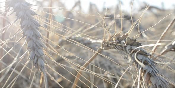Wheat 18