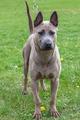 domestic dog Rhodesian Ridgeback breed - PhotoDune Item for Sale