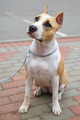 domestic dog American Staffordshire terrier breed - PhotoDune Item for Sale