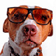 Dog-with-sunglasess-3