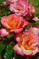 Beautiful pink and orange roses - PhotoDune Item for Sale