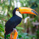 Colorful tucan - PhotoDune Item for Sale