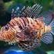 Lion fish - PhotoDune Item for Sale