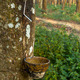 Tracks tapping rubber trees in southern Thailand. - PhotoDune Item for Sale