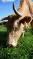 Cow grazing in the meadow - PhotoDune Item for Sale