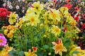 Yellow dahlia garden - PhotoDune Item for Sale