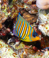 Royal angelfish - PhotoDune Item for Sale
