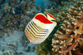 Eritrean butterflyfish - PhotoDune Item for Sale