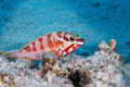 Red banded grouper - PhotoDune Item for Sale