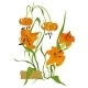 Tiger Lily Flower - GraphicRiver Item for Sale