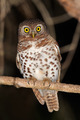 African barred owlet - PhotoDune Item for Sale