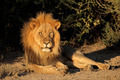 Big male African lion - PhotoDune Item for Sale