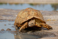Leopard tortoise - PhotoDune Item for Sale