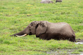African elephant in marshland - PhotoDune Item for Sale
