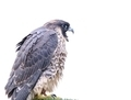 Isolated peregrine falcon. - PhotoDune Item for Sale