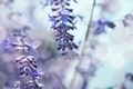 Delicate background with lavender - shallow depth of field - PhotoDune Item for Sale