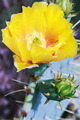Yellow bloom of Opuntia humifusa - PhotoDune Item for Sale