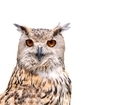 Isolated eagle Owl. - PhotoDune Item for Sale