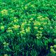 Sunhemp flowers - PhotoDune Item for Sale