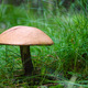 Growing Birch bolete mushroom in the grass - PhotoDune Item for Sale
