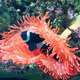 black percula clownfish inside anemone - PhotoDune Item for Sale