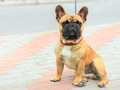 domestic dog French Bulldog breed - PhotoDune Item for Sale