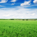 Pea field and blue sky - PhotoDune Item for Sale