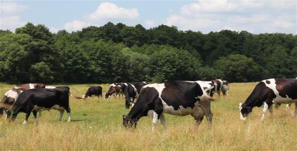 Cows On Pasture 2