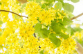 Golden shower or Cassia fistula flower - PhotoDune Item for Sale
