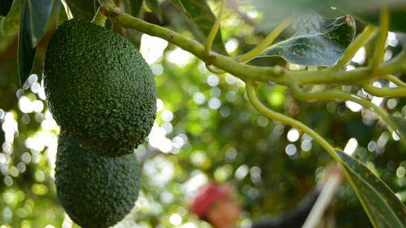 Avocado Hass Fruit at Harvest