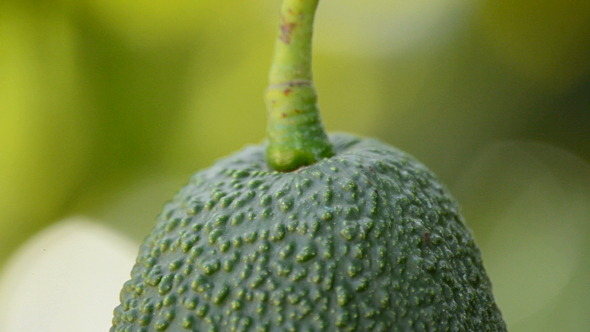 Hass Avocados Hanging