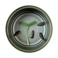 Organic green young sunflower sprout in cans - PhotoDune Item for Sale