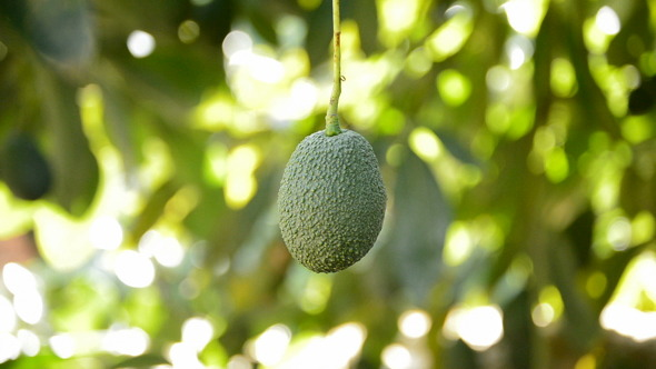 Avocado Hass Hanging in Branch