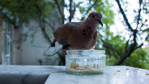 Dove Eating