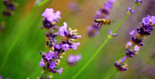 Bees on Lavender 5