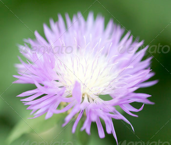 purple flower in nature - PhotoDune Item for Sale