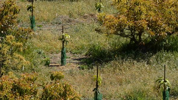Plantation of Avocados Tree