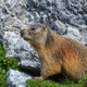 Alpine marmot (Marmota marmota) on rock  - PhotoDune Item for Sale