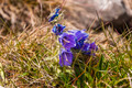 Campanula alpina Jacq. - PhotoDune Item for Sale